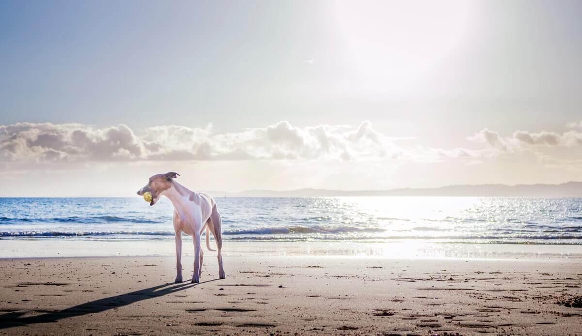 Hund på sandstrand